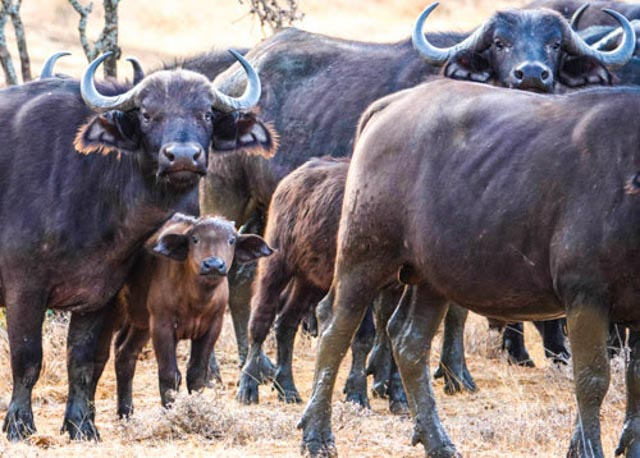 Baby buffaloes are surrounded by moms.