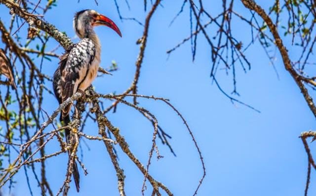 For many, the Hornbill may be a 'lifer'.