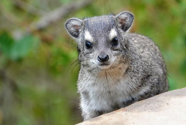 The elephant's relative, the rock hyrax, will also emerge.