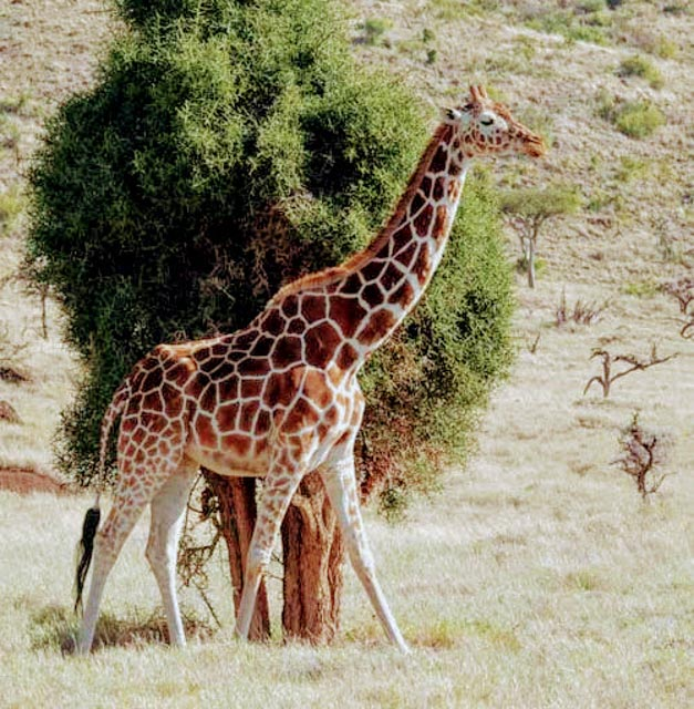 The endangered Rothschild Giraffe also has a haven at Lewa.