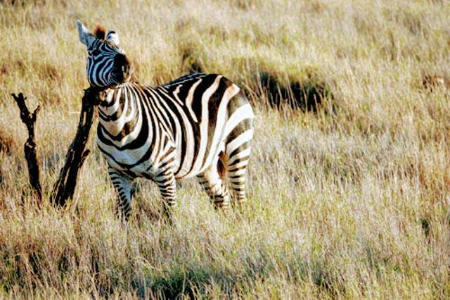 … compared to the common Grants Zebra.