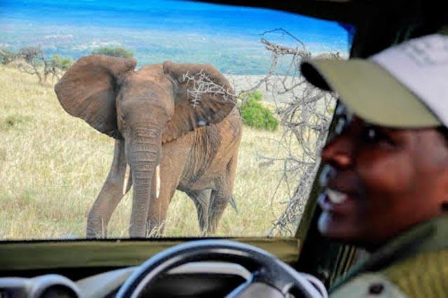 This elephant seems agitated…