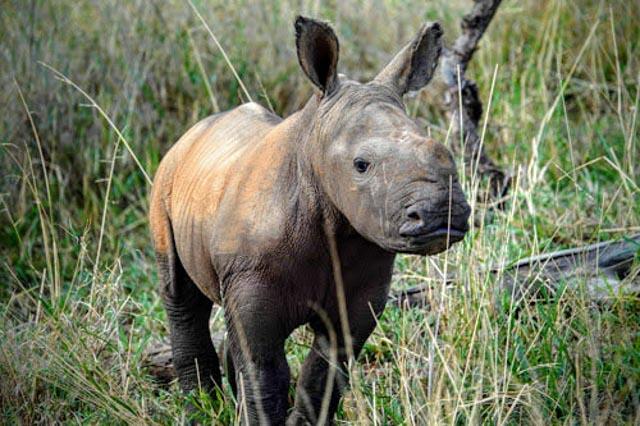 Lewa is renowned for saving endangered rhinos.