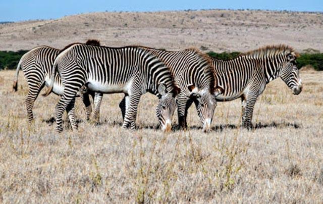 He's got his eye on endangered Grevy Zebra…