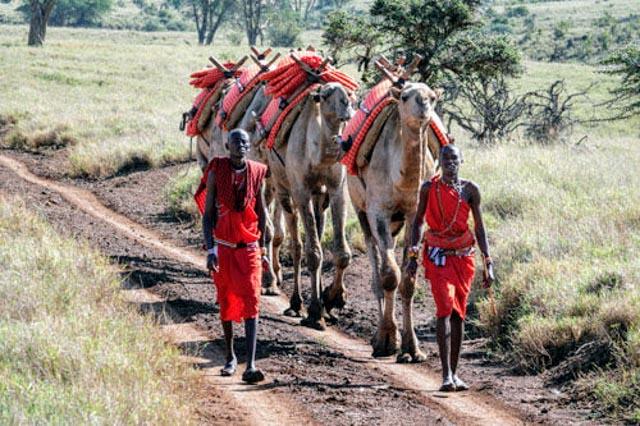 … a caravan of camels lead by Maasai wranglers.