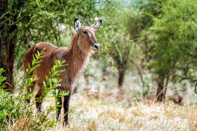 Where there's water, there's Waterbuck…
