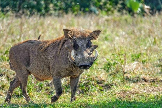 Warthog trot across the savanna…