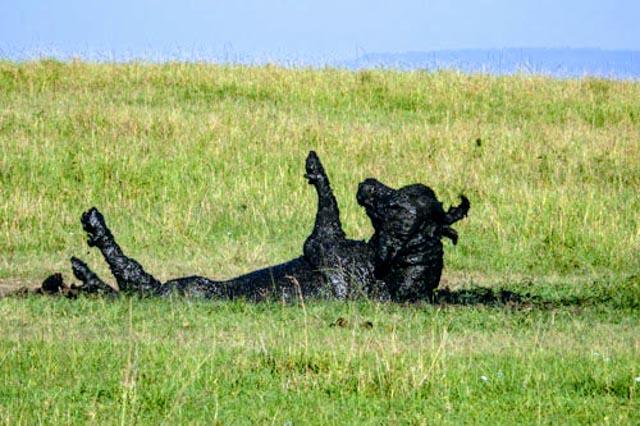 …and, Cape Buffalo cavort.