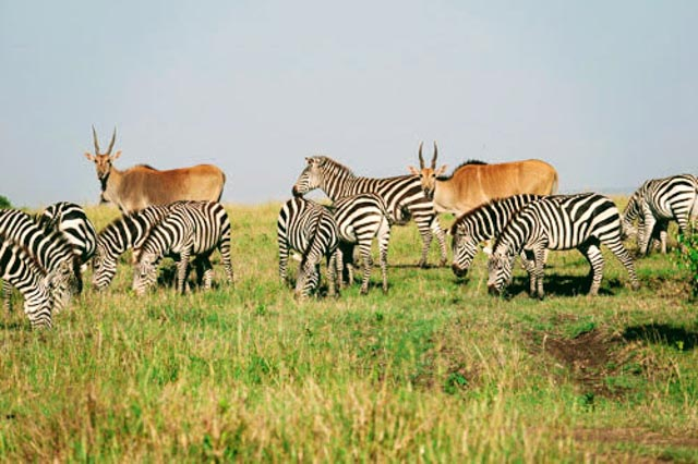 …mingling with other antelope…