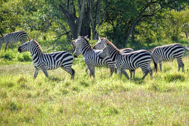 Vast herds of Zebra surround the camp…