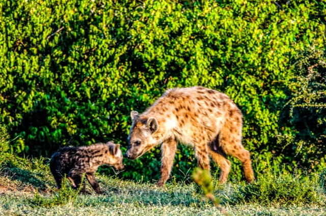 Hyena cubs emerge from their dens…