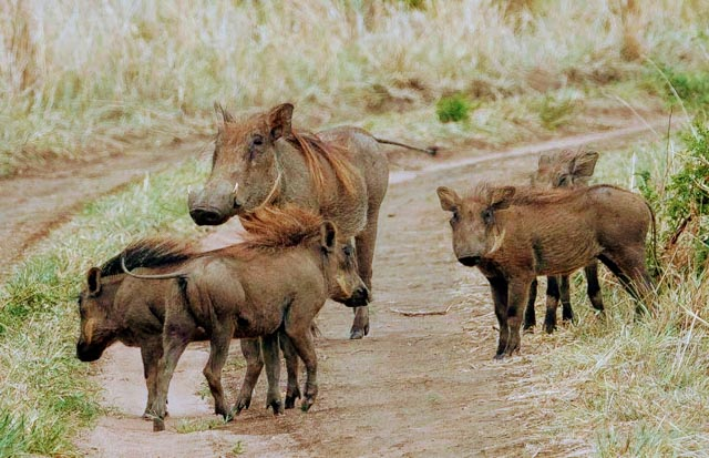 Warthog families are multi-generational…
