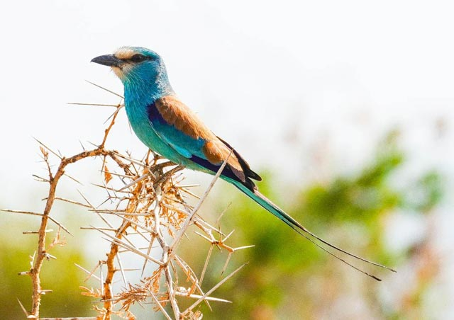…and the Liiac-Breasted Roller.