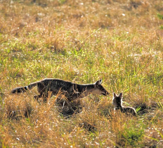 …and, Jackal cubs, too.