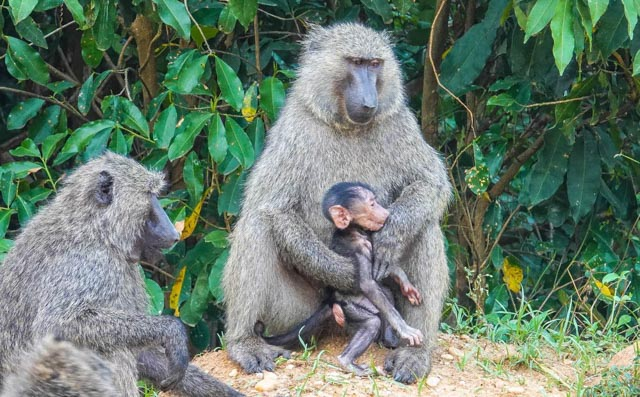 Baboon parents are nearly human.