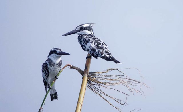 Birds abound like the Pied Kingfisher,…