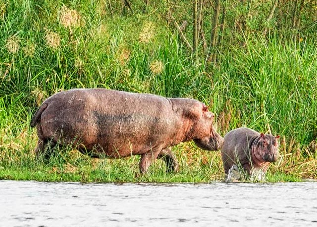 …unlike their relatives, the Hippos.