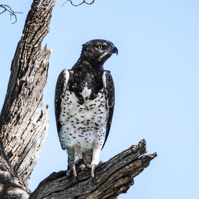 …the Martial Eagle, …