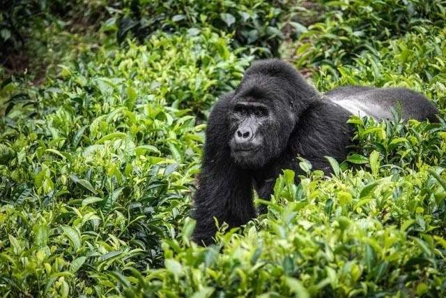 …where Silverback Gorillas await.