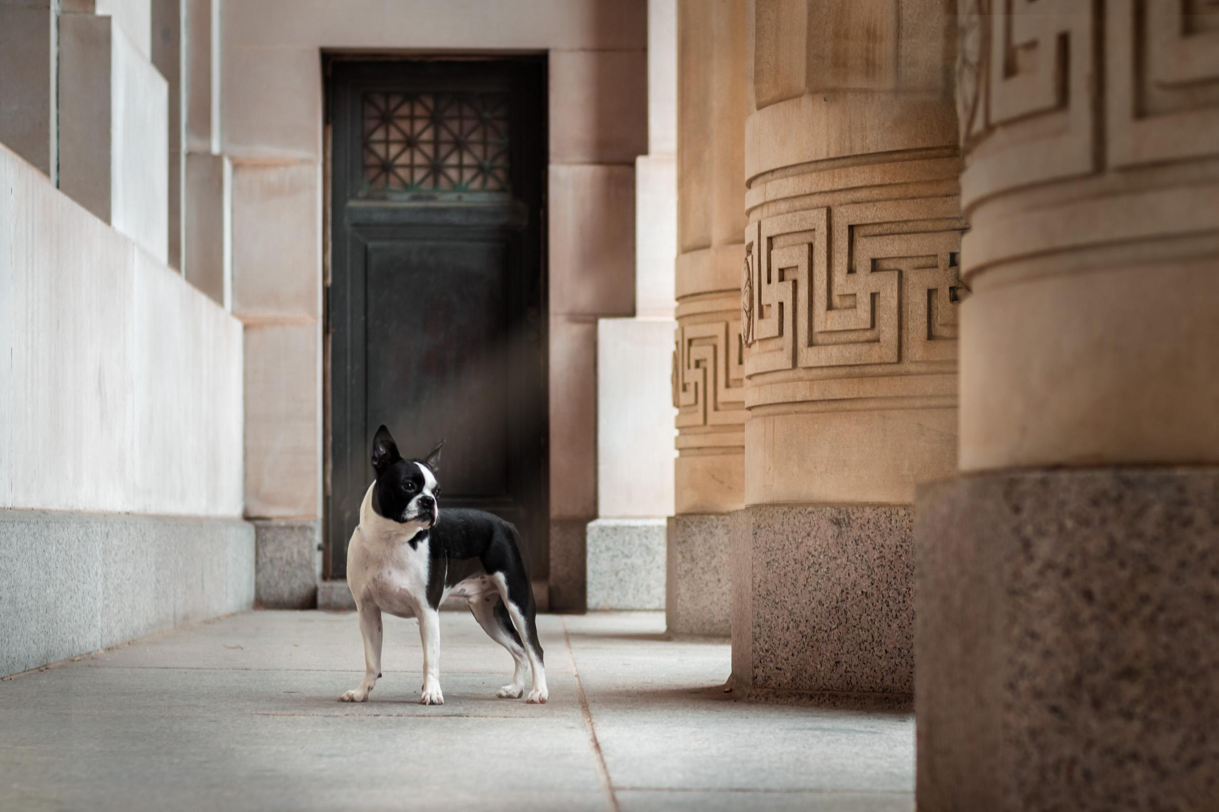 Boston Terrier - M's animals Photography