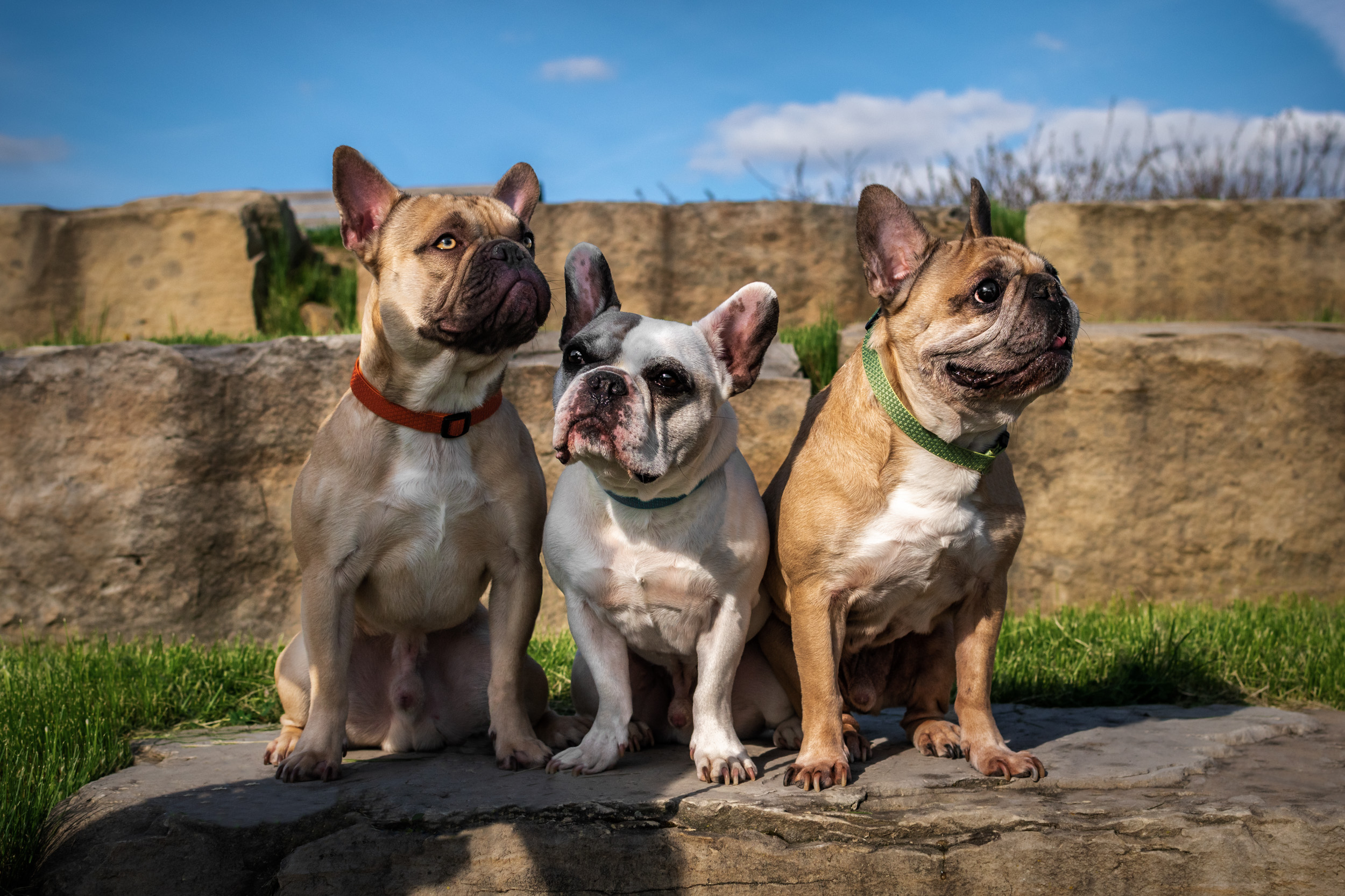 frenchie dogs - M's animals Photography
