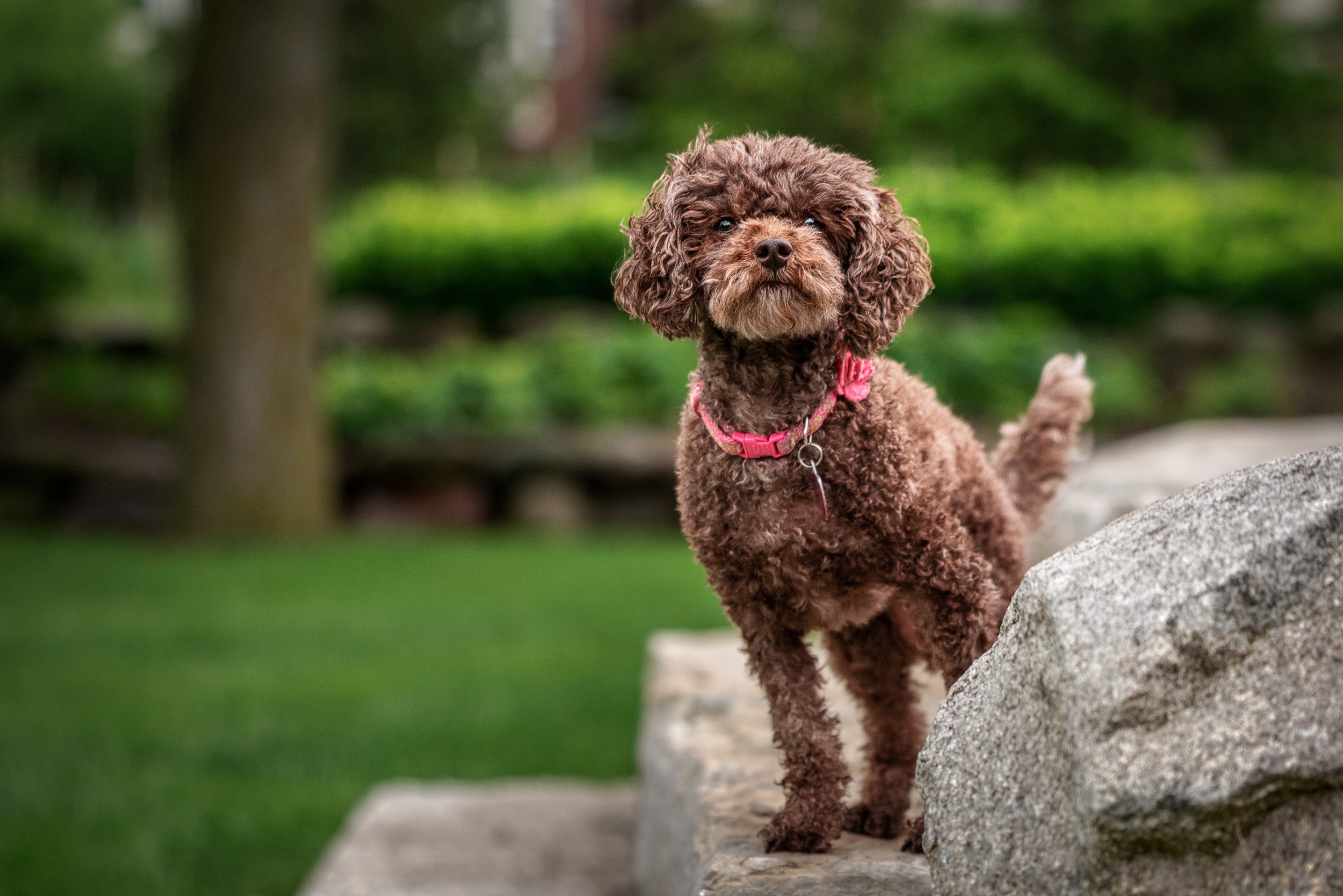 Tiny poodle - M's animals Photography