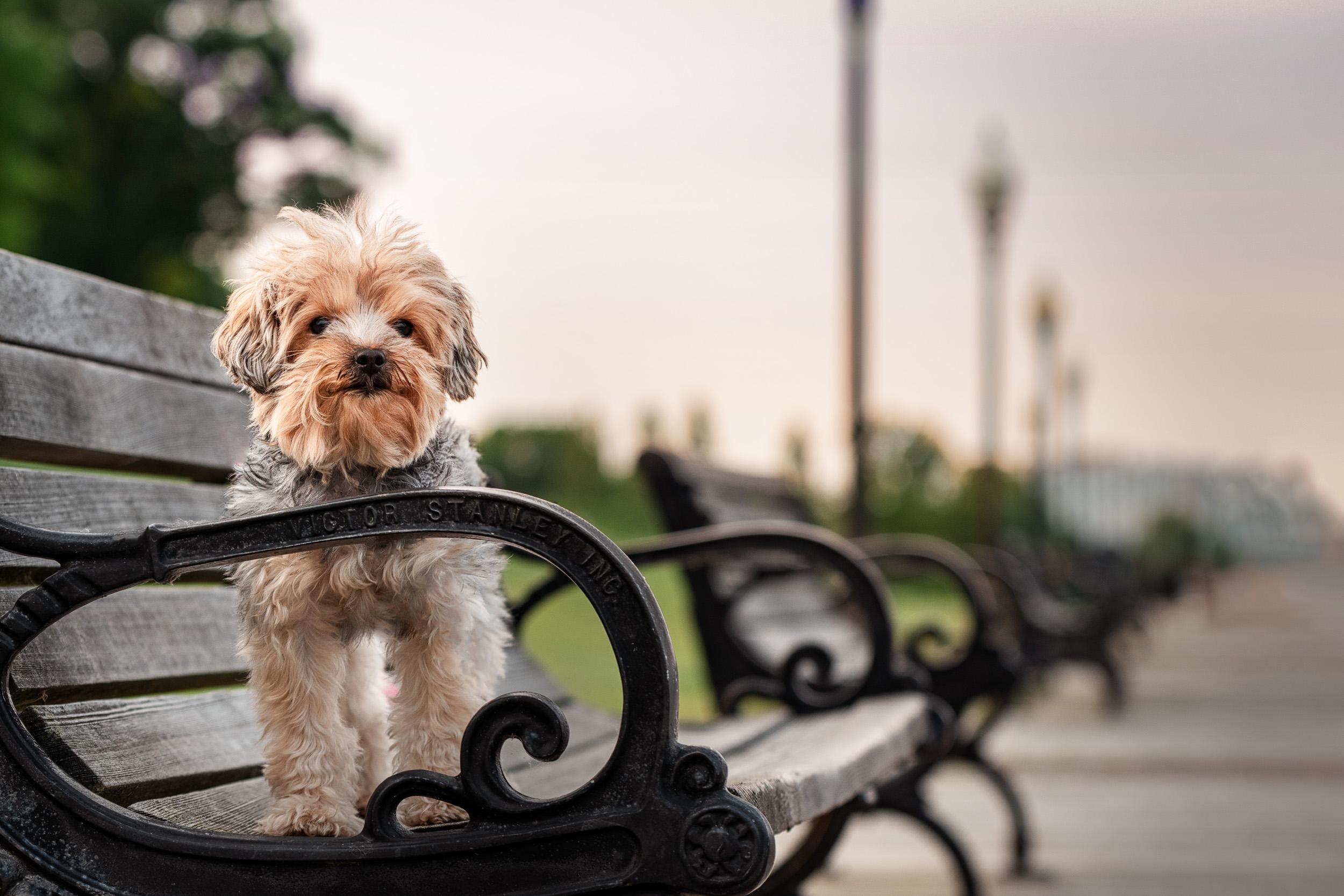 Sassy York dog - M's animals Photography