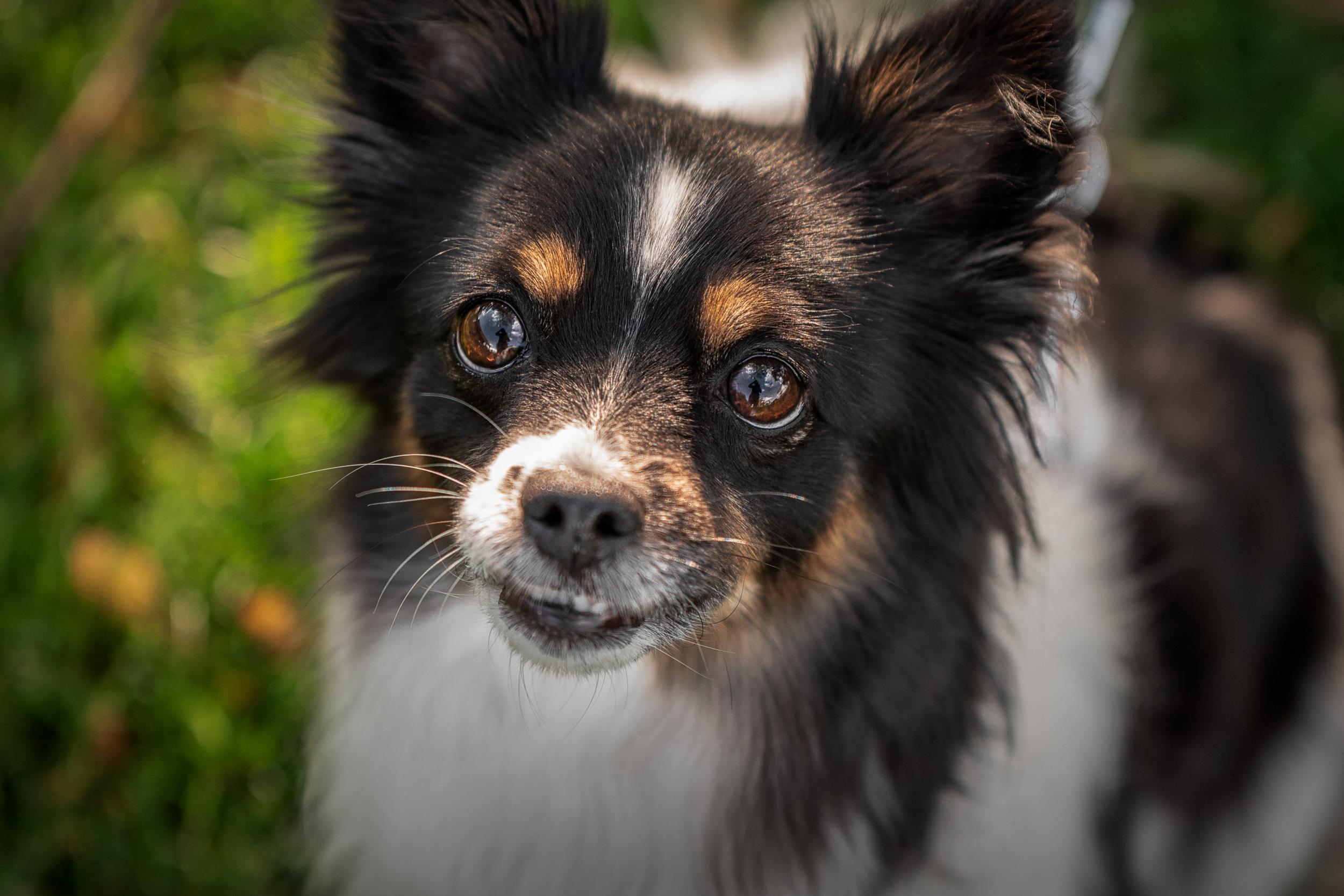 Tiny Dog Body Guard - M's animals Photography