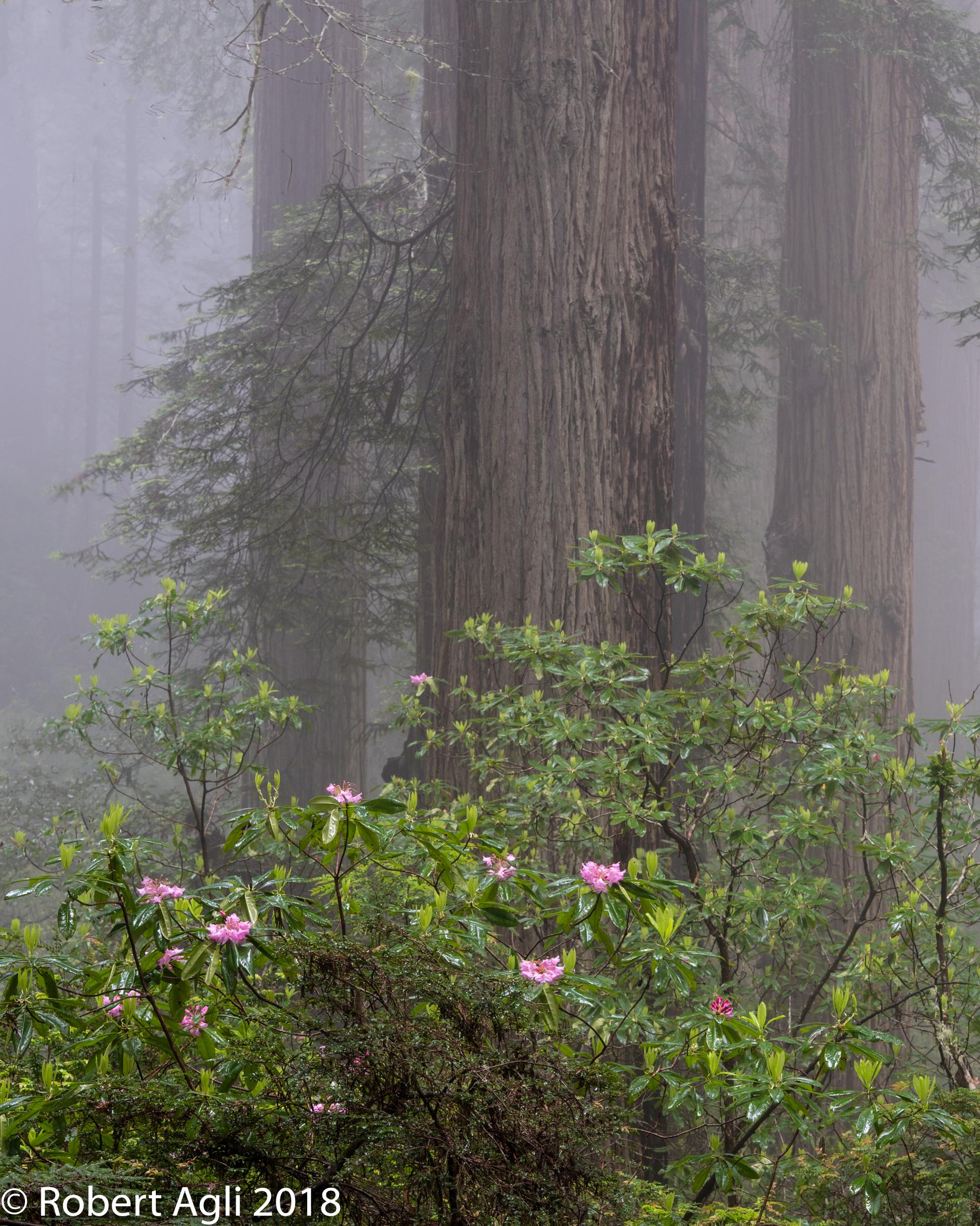 Redwoods and Rhodies.jpg