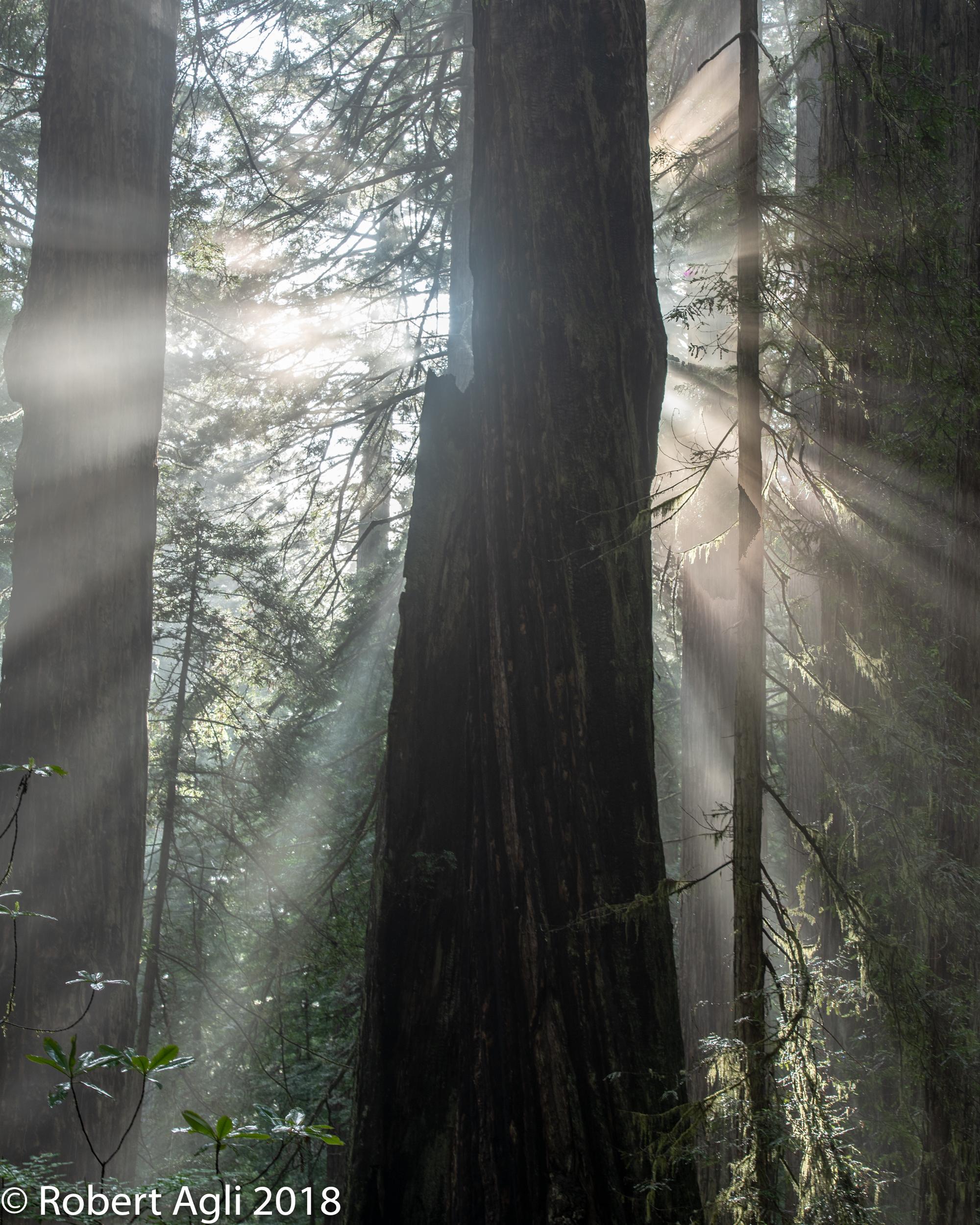 Redwoods Sun Rays.jpg