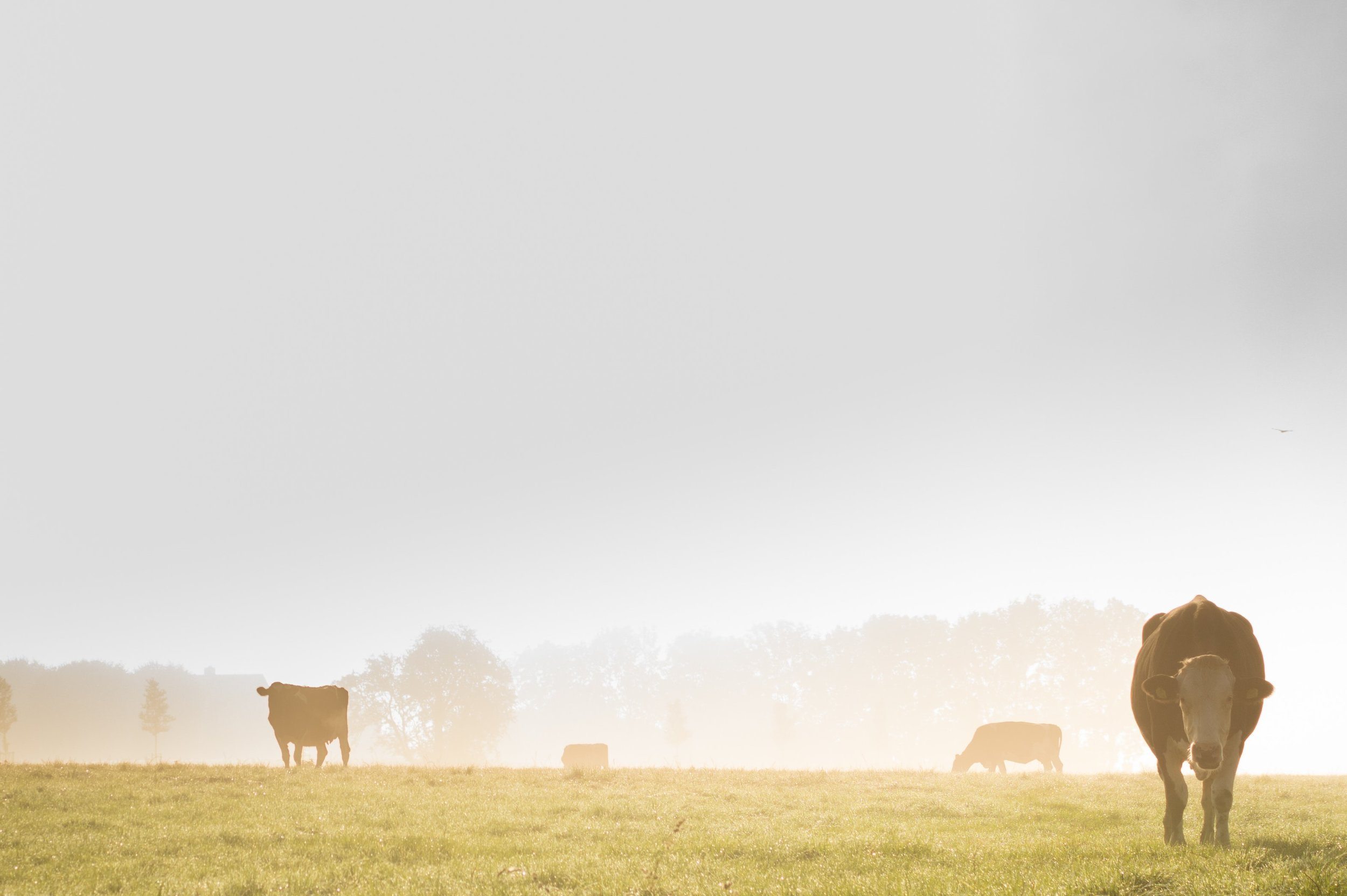 agriculture-animals-cows-9741.jpg
