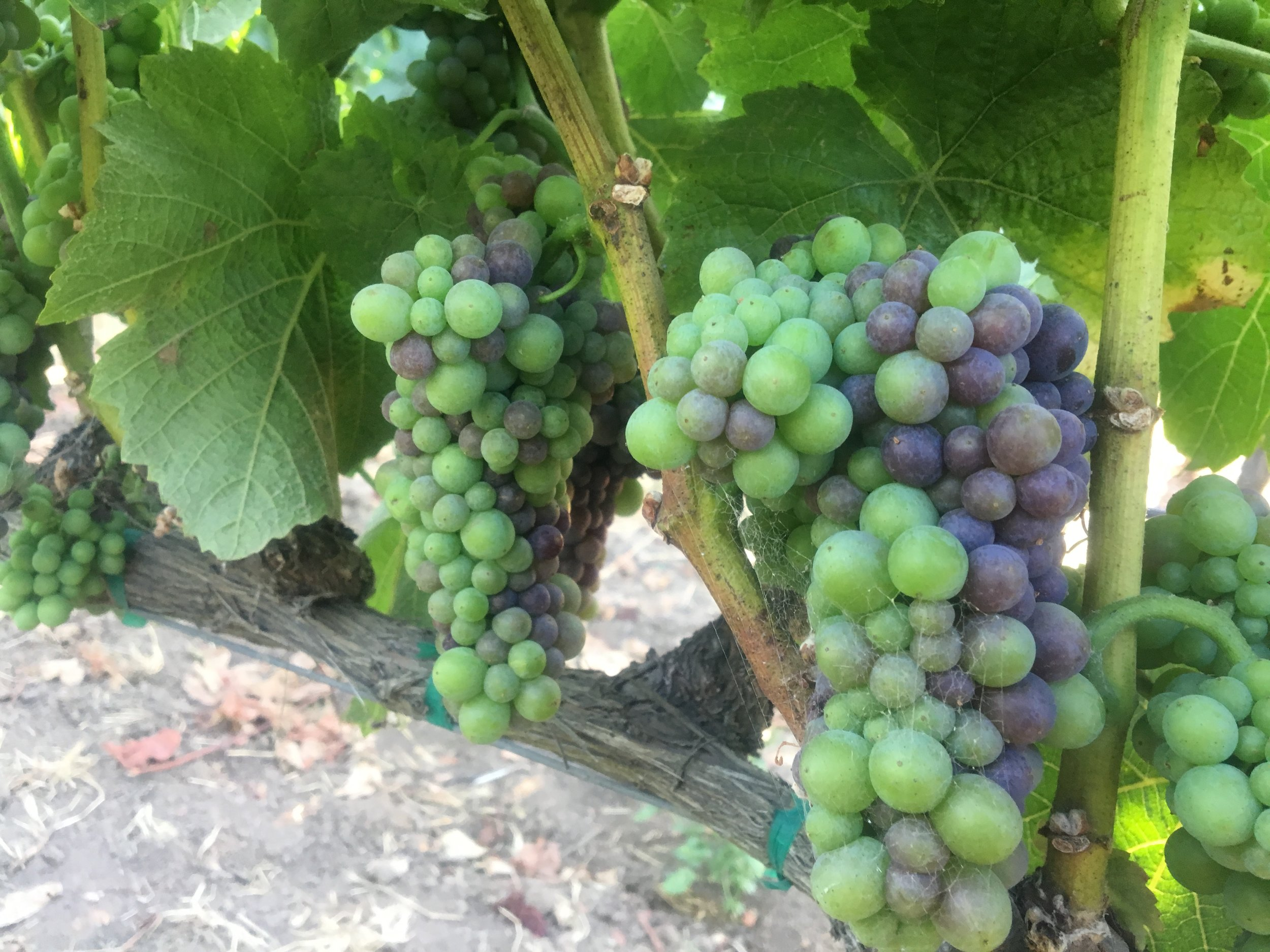 Our fruit at Soberanes going through veraison