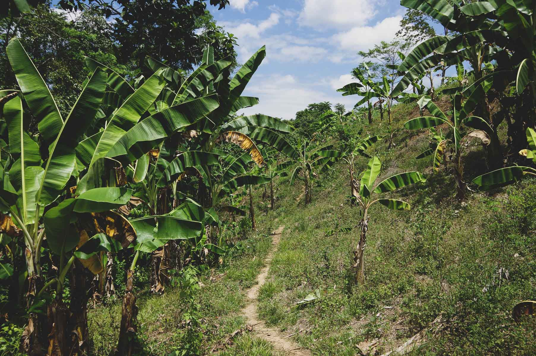 A banana plantation at Quirino Province.