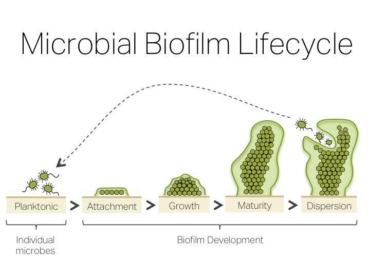 Biofilm Treatment Protocol Natural Biofilm Disruptors