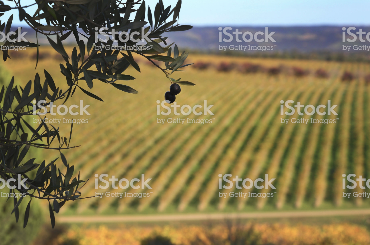 australian grown, italian inspired - Harvested from the famed soils of the Adelaide Plains - Australia′s our own little patch of the Mediterranean.gathering and processing premium OLIVE fruits, that WOULD PROVIDE US the richest, most consistent extra virgin olive oil for GOOD TASTE AND WELL-BEING.