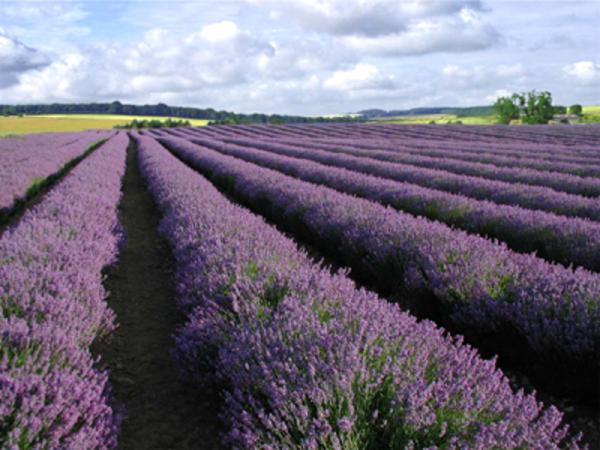 cotswold lavendar.jpg