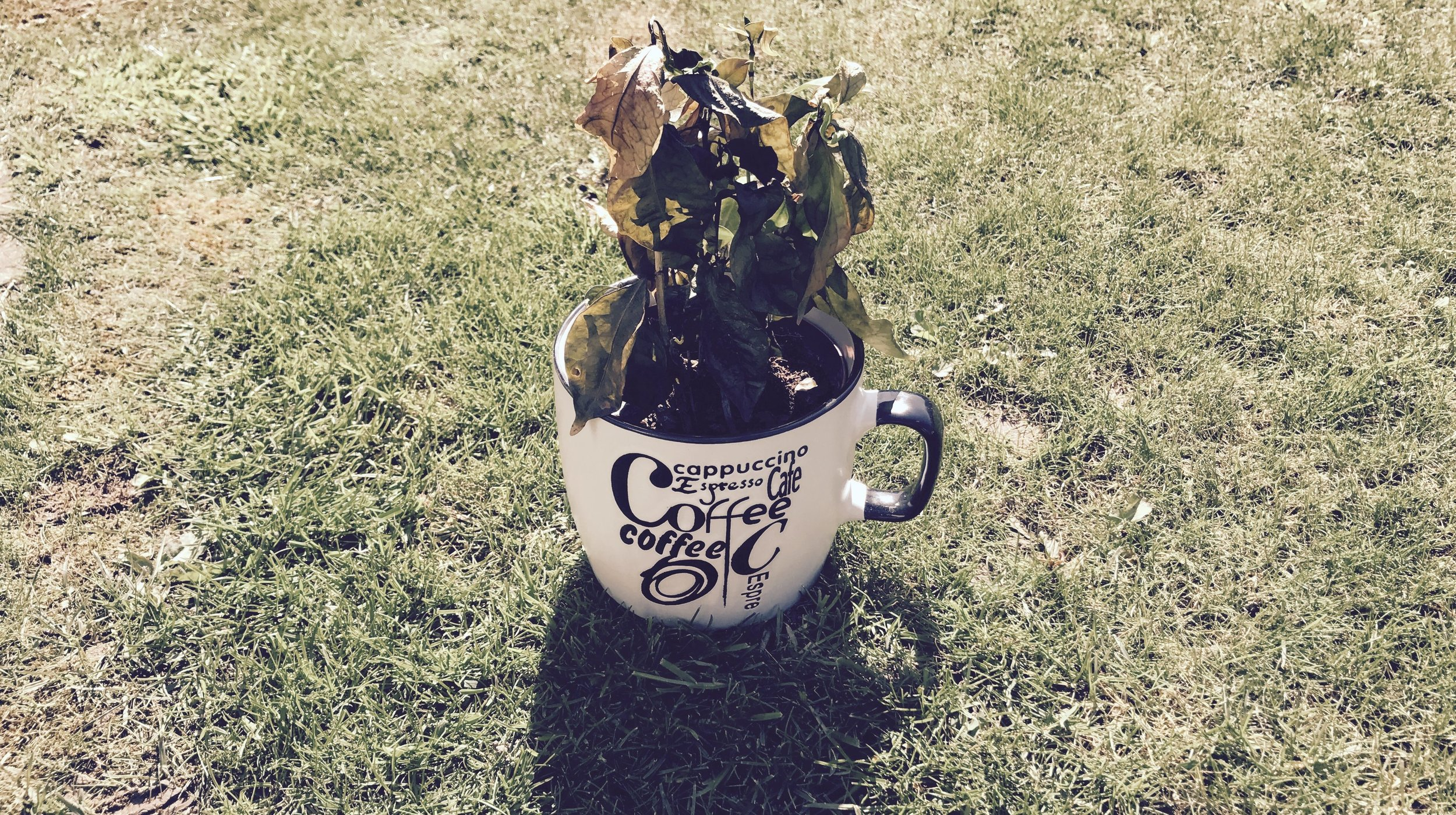 Coffee-plant-died-e1491750884897.jpg