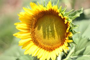 morgan-sessions-sunflower-300x200.jpg