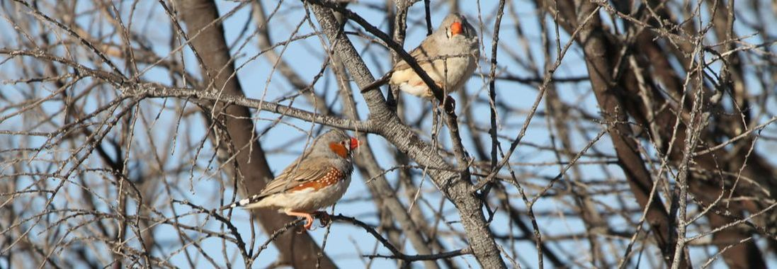 Male and female zebra finch at Fowler's Gap Research Station, New South Wales, Australia Photo credit: Nicole M. Baran