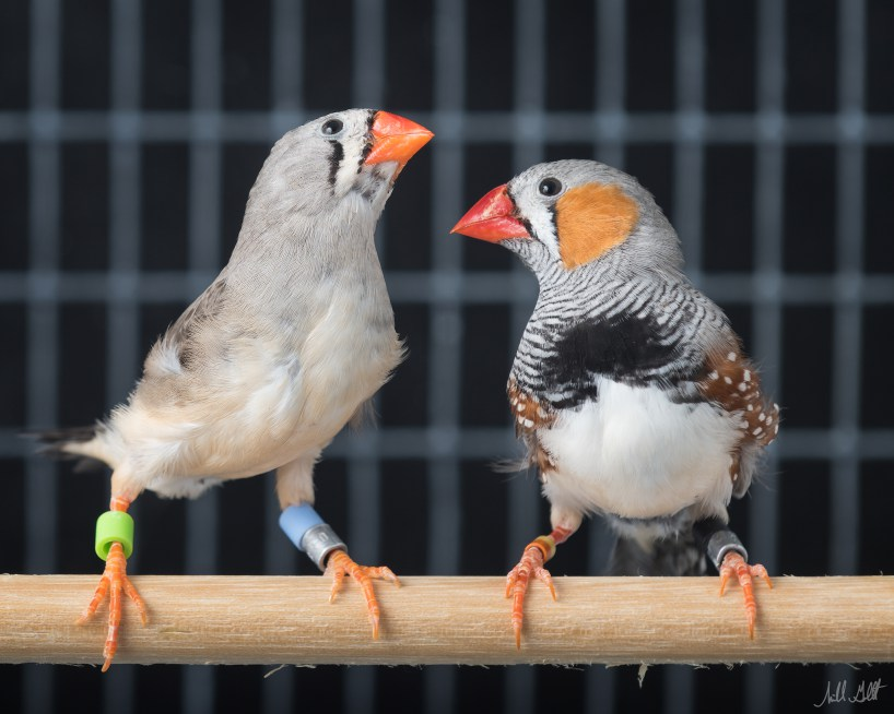 Female (left) and male (right) zebra finches Photo credit: Michael H. Goldstein