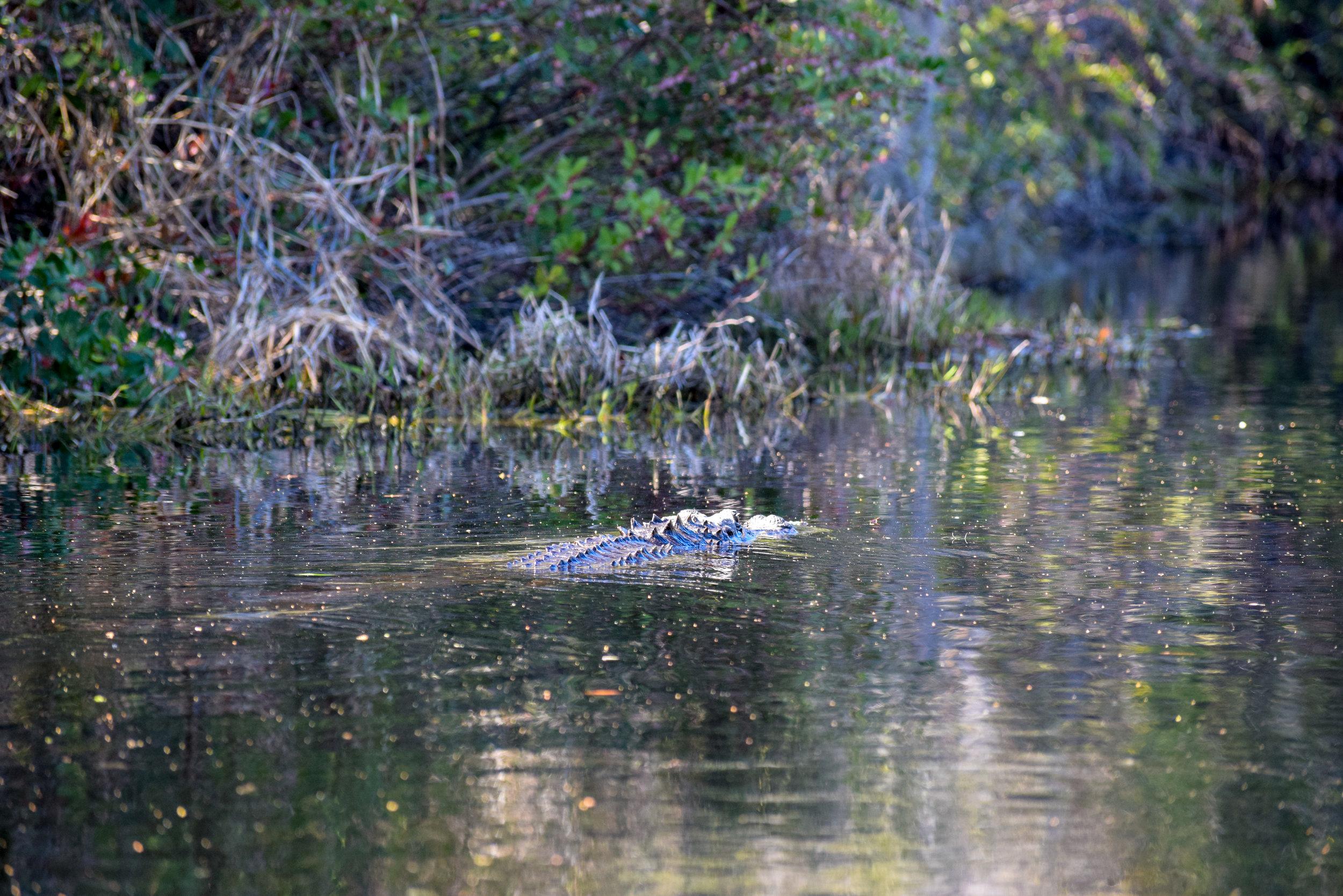 An alligator swims away in Okefenokee Swamp, March 2018  Photo credit: Nicole M. Baran