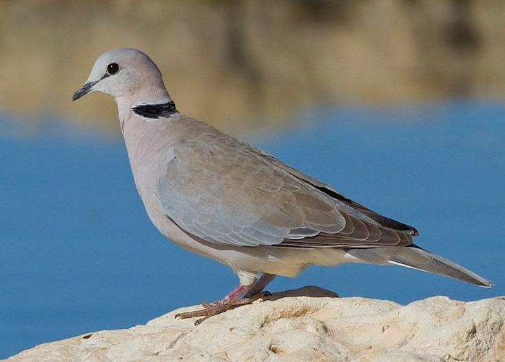 EGALITARIANS:  The psychologist and feminist Daniel Lehrman chose to study the ring dove, which shares the work of raising its young equally between male and female. Photograph by Yathin S Krishnappa / Wikicommons