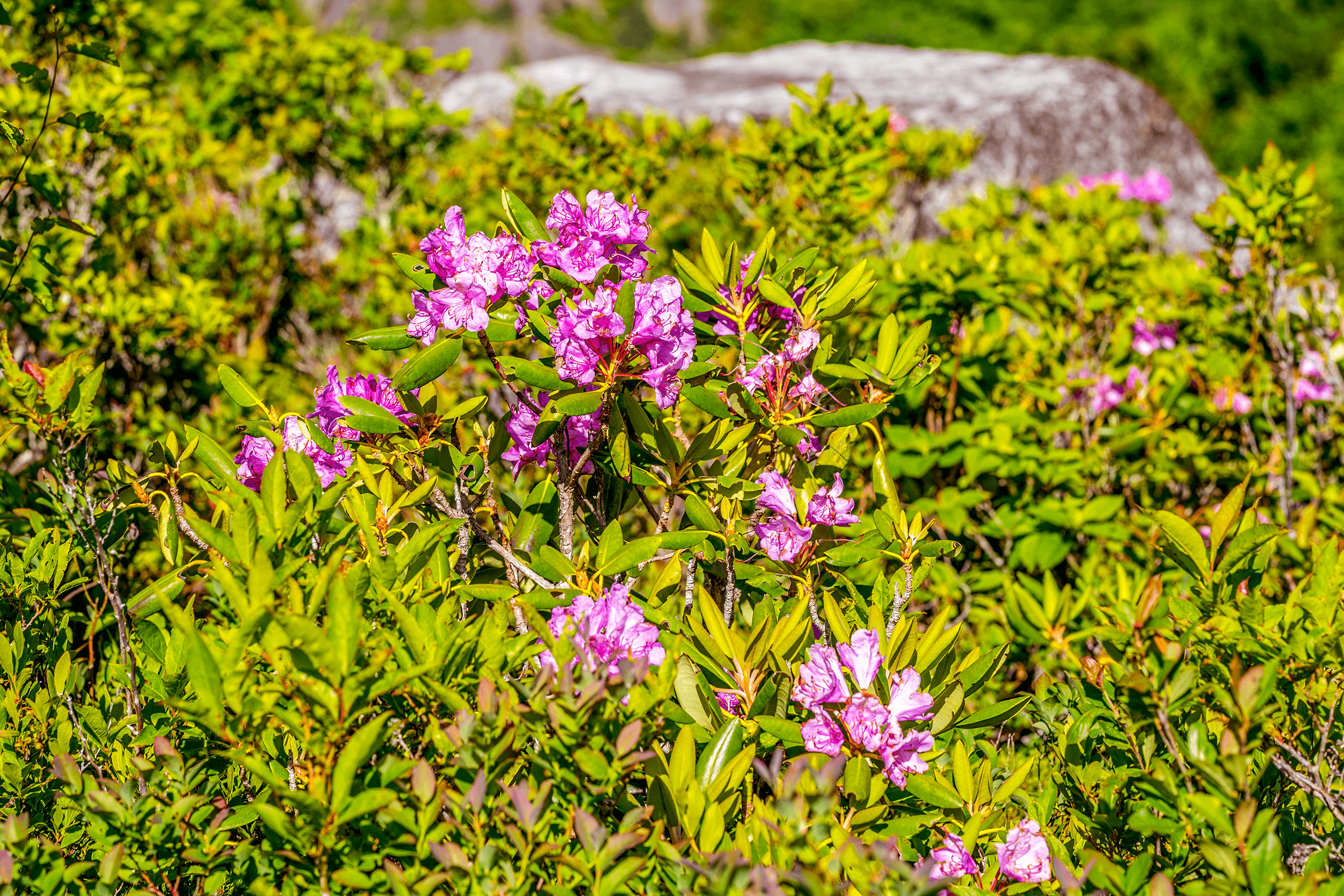 """In case you visit the  Rough Ridge Overlook  in May or June, you will be able to admire the  Catawba Rhododendron , named for the Catawba Indians, who lived east of the Catawba River. Blooming between late May and mid-June, the  Catawba Rhododendron  is also called """"nature's thermometer."""" When the temperature drops, its leaves curl inward. It is said, at below 20°F (-7°C), the leaves are curled """"as tight like a cigar."""""""