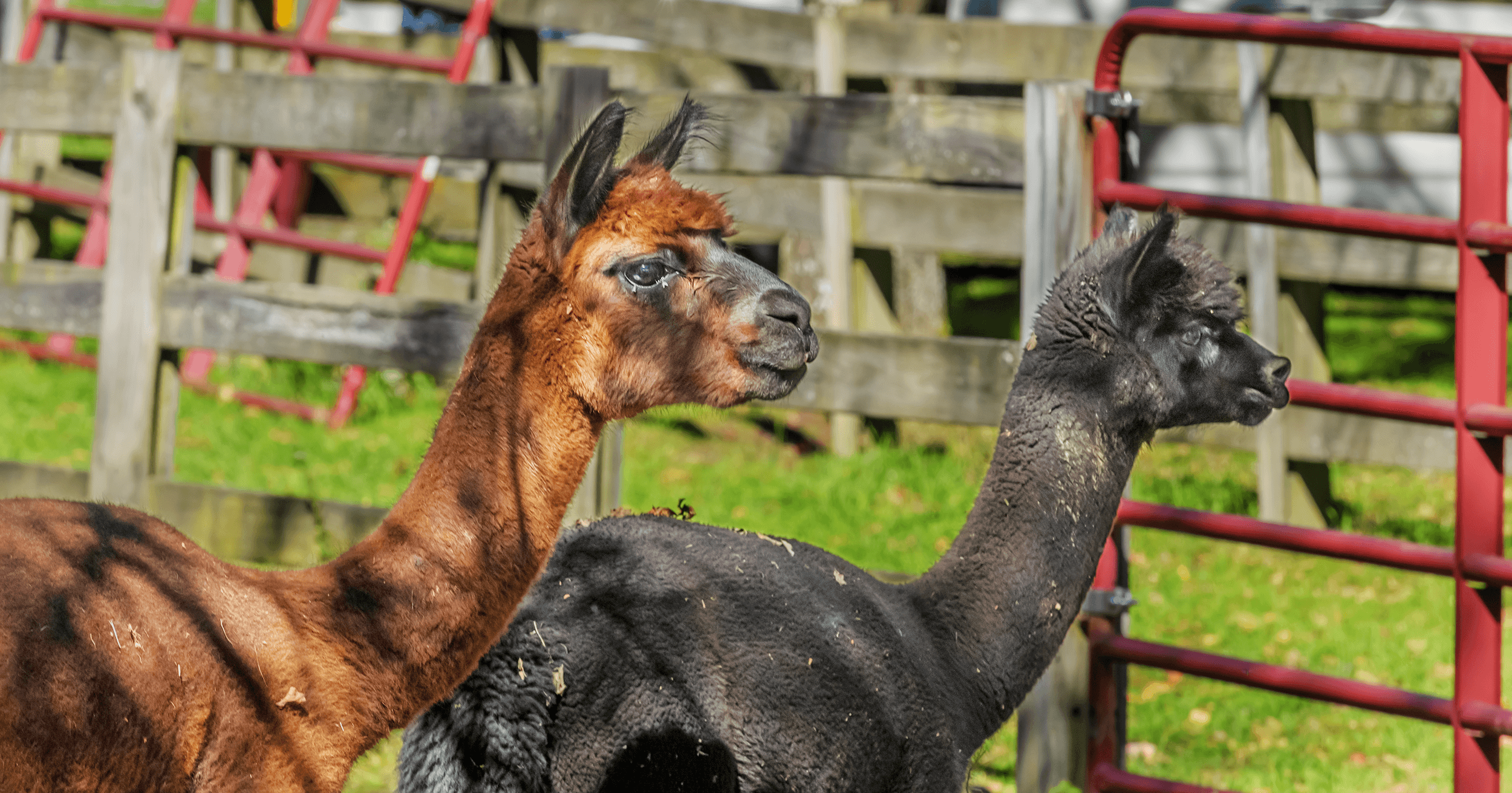 The 10-acre  Apple Hill Farm  had been an apple orchard for 45 years. In 2002, Lee Rankin purchased the apple orchard to realize her dreams. Pursuing her love for alpacas, she turned the apple orchard into a working alpaca farm.