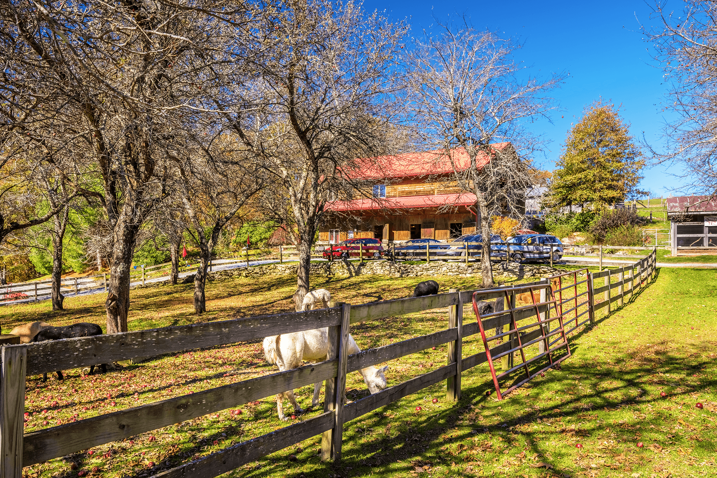 The main barn is the starting point for the guided tours. While waiting for the tour to begin, you can watch alpacas and llamas grazing under the old apple trees. The chicken coop next to the barn provides fresh farm eggs, which are available for purchase in the store at the barn.