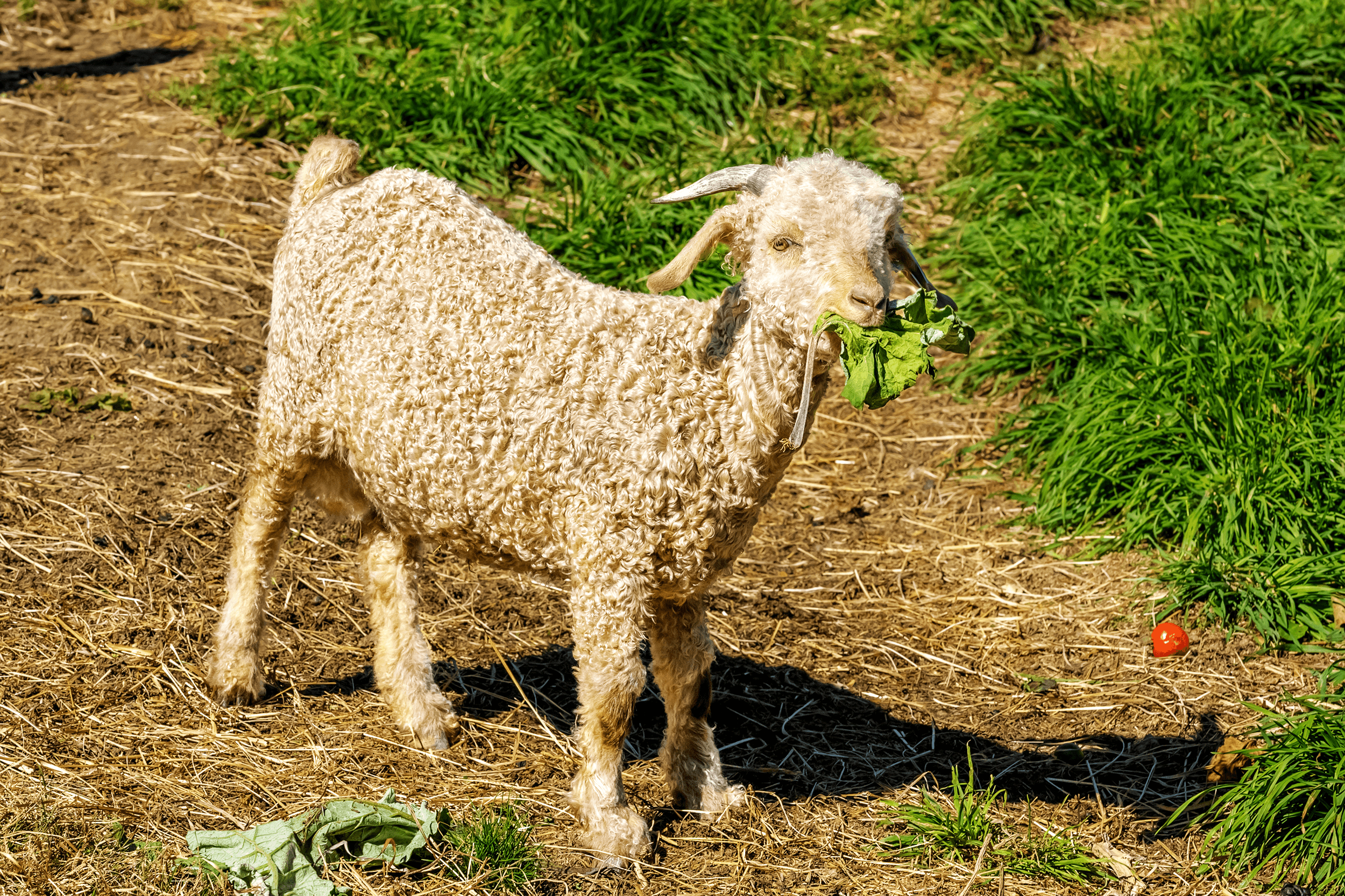 Well, a young angora goat is also adorable.