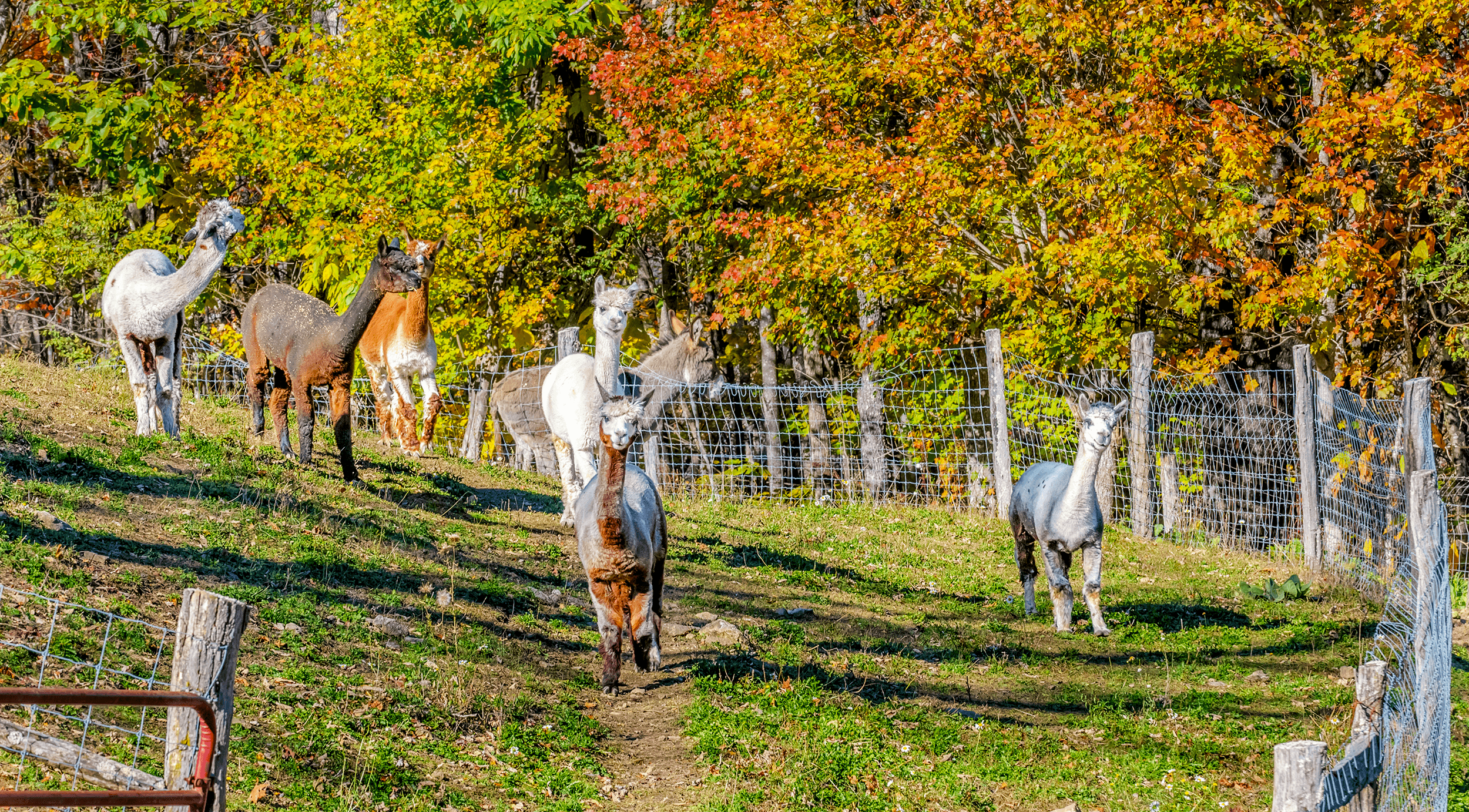 The second herd of alpacas is making its way back to the lower barn on this perfect fall afternoon.