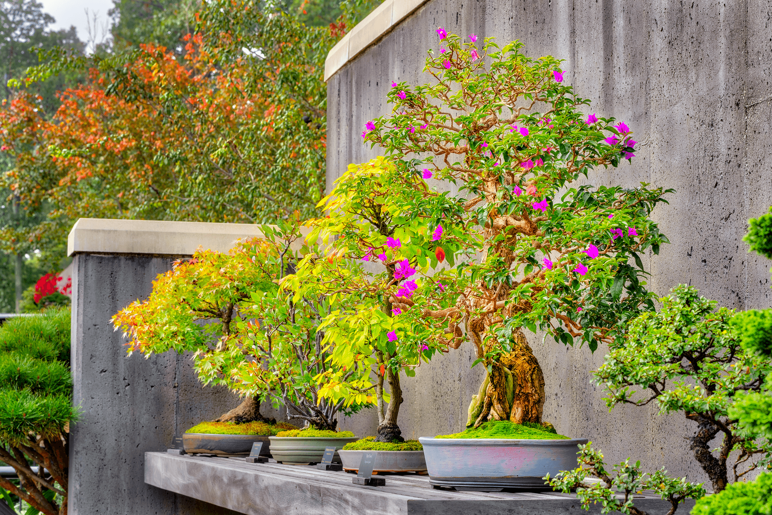 Usually, the age of the tree is given much focus in a bonsai collection. However, due to the many donations of the bonsai plants their age is mostly unknown. Therefore, the Arboretum focuses more on the artistic design and health of its bonsai specimens.