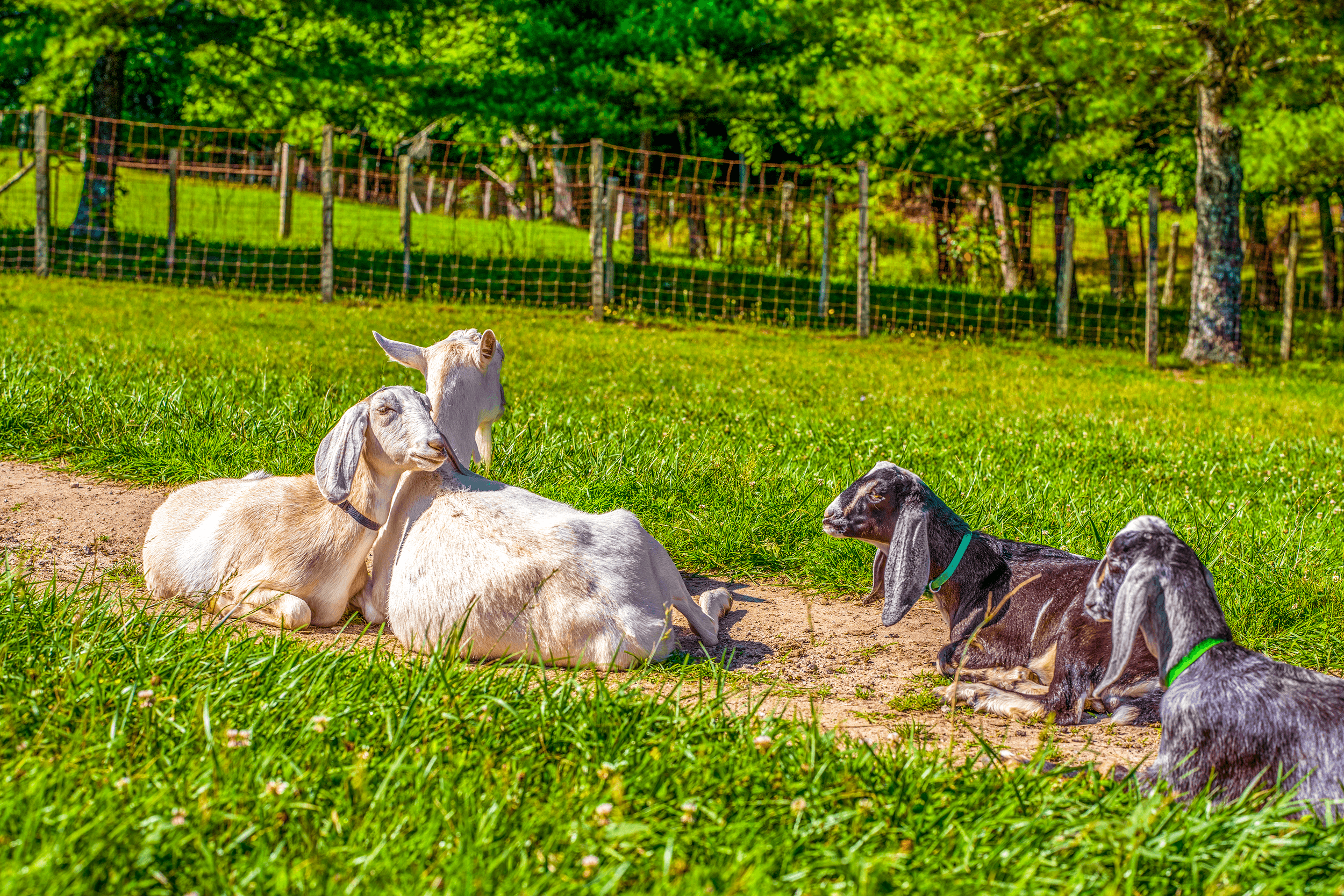 After the estate became a national historic site in 1968, the goats, which were once raised by Lilian, were declared a  Historic Herd  by the U.S. Government.