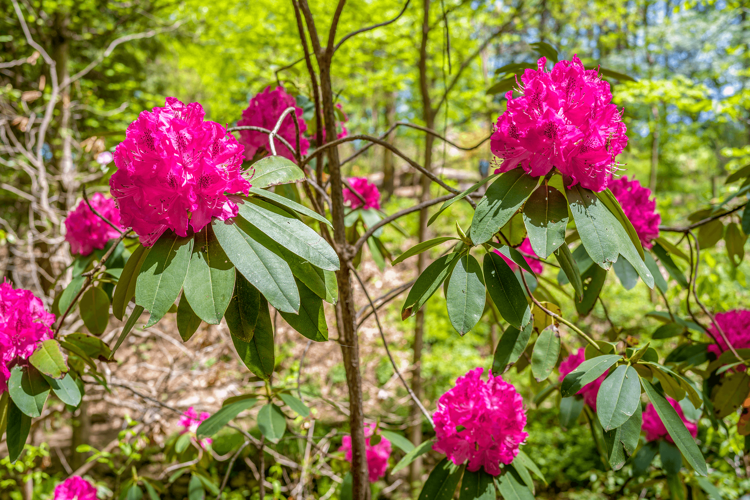 The Botanical Gardens at UNC is located on the university campus. Secluded from the hectic university life, the  VanLandingham Glen  is an oasis of tranquility. The Glen features a large variety of rhododendrons and local plants.